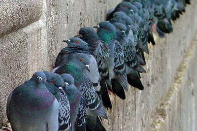 gruppo di piccioni