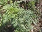 pianta ambrosia