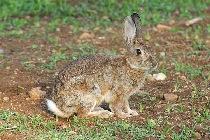 immagine di un coniglio selvatico